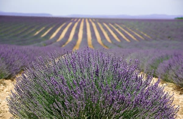 Heather in the provence